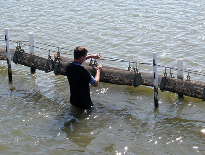 off_bottom_oyster_culture_alabama.jpg