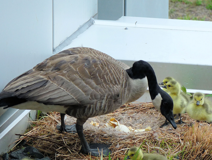 Canada goose with four goslings outside The Kresge Foundation office building